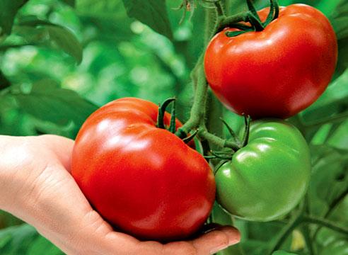 Украинские томаты пользуются спросом за границей