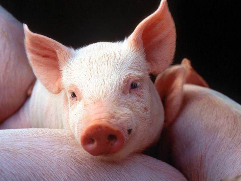 Из отходов 14 тыс. свиней в год вырабатывается 9 млн кВт/ч электроэнергии