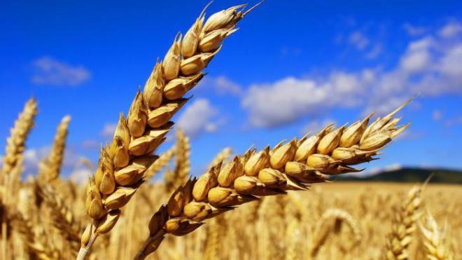 Украинцы вывели новый сорт пшеницы