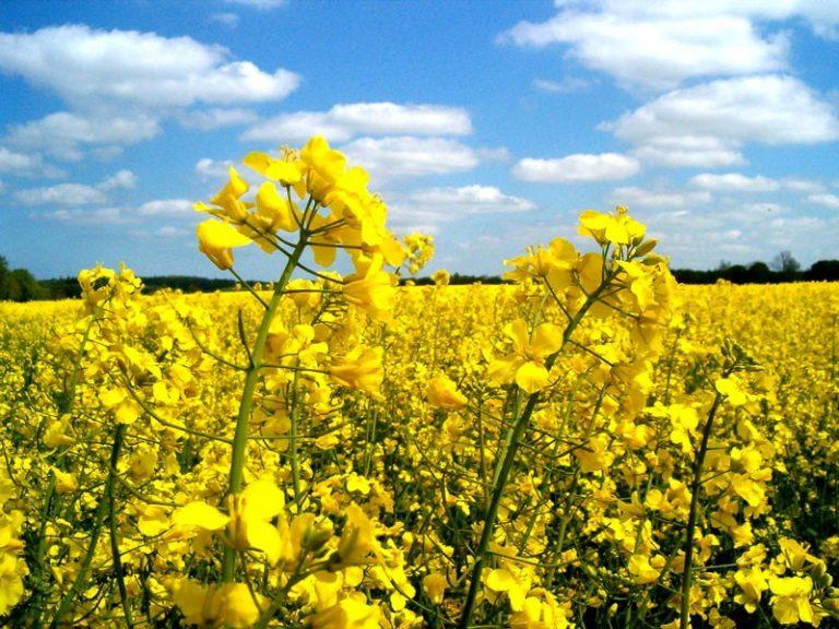 Выращивание ярового рапса в украине