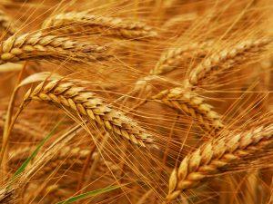 Украина подвинула Штаты в рейтинге урожайности пшеницы