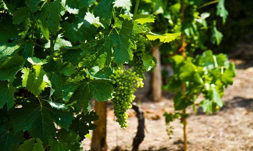 Утвержден порядок распределения средств виноградарям и садоводам